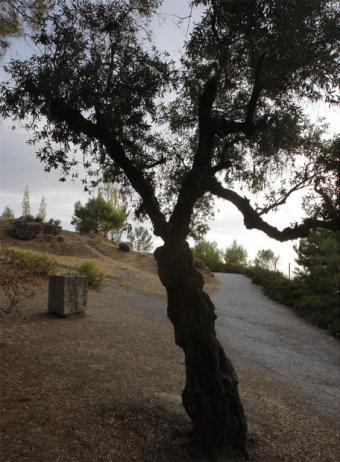 Olivo y monolito cerca del paraje donde está la fosa de Lorca.- G. LEJARCIGI